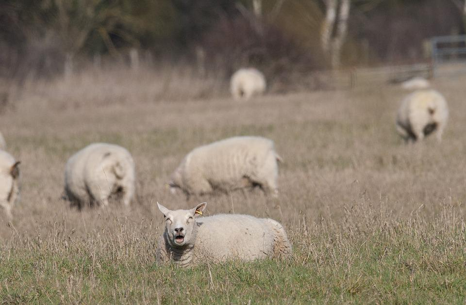 Sheep, Sheep Sun Bathing, Mammal, Sheep In A Field