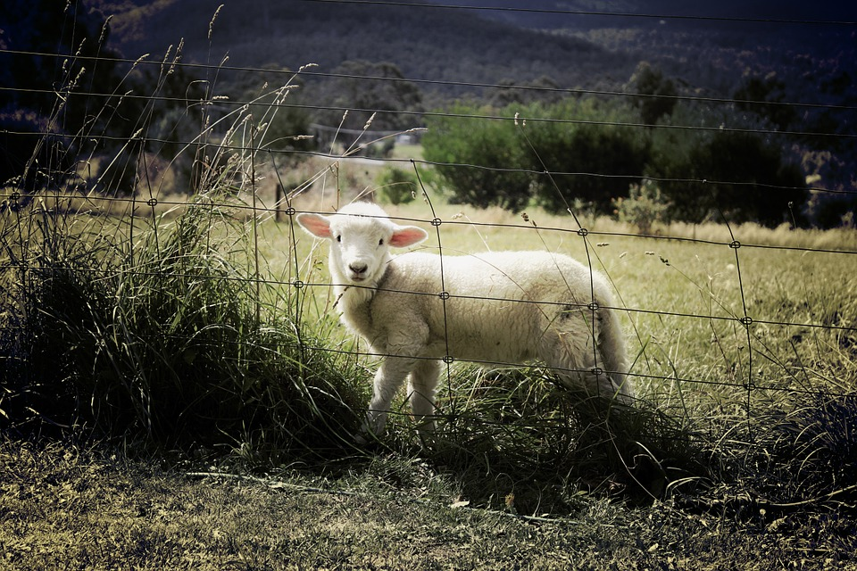 Lamb, Sheep, Farm, Animal, Countryside, Grass, Field