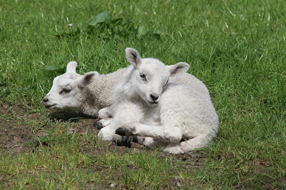 Lambs, Sheep, Farm, Wool, Grass, Nature, Spring