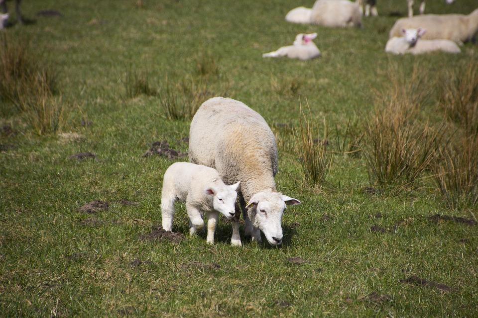 Sheep, Grass, Lamb, Mammal, Animal, Nature, Wool