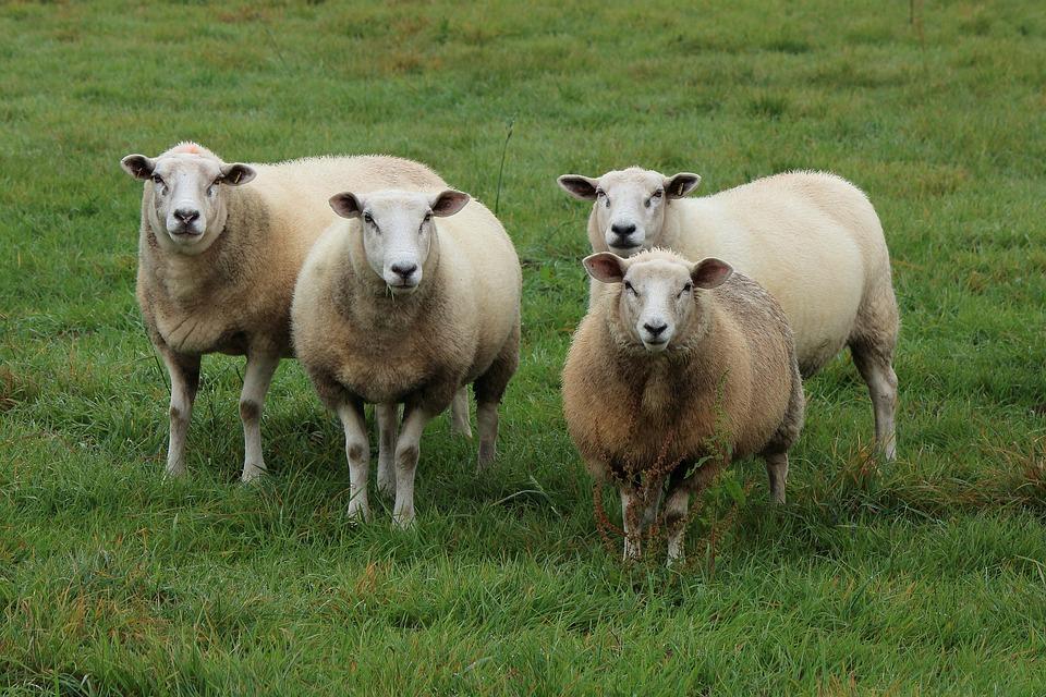 Sheep, Flock Of Sheep, Flock, Pasture, Animals, Meadow