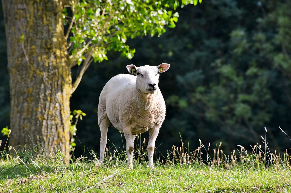 Sheep, Animal, Netherlands, Zealand