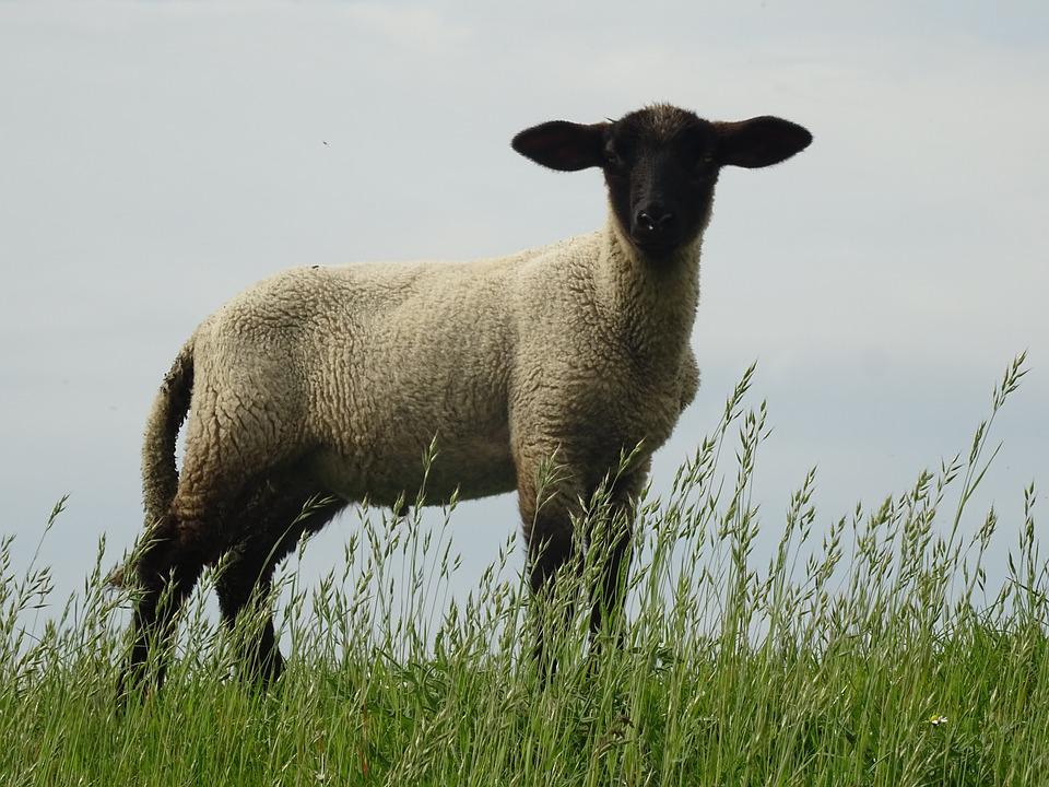 Nature, Sheep, Animal, Lamb, Countryside, Farm, Pasture