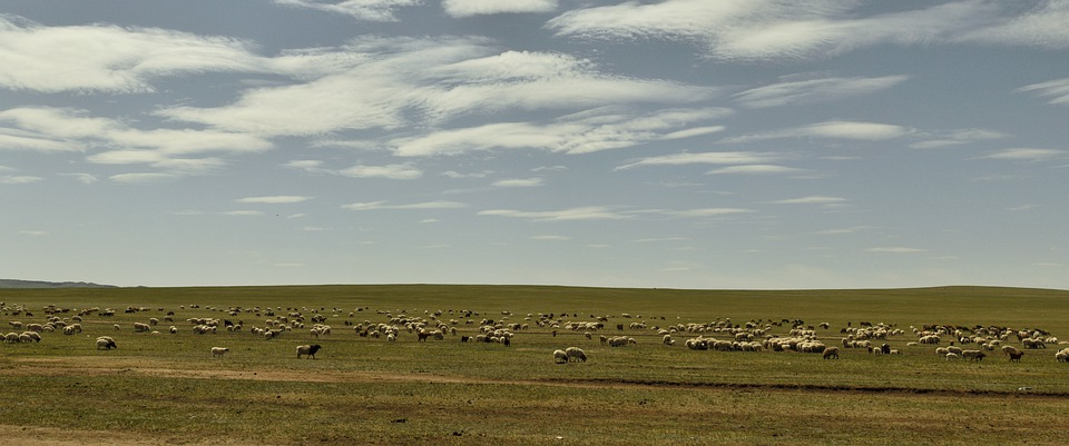 Sheep, Steppe, Nature, Feed, Summer, Cattle, Pasture
