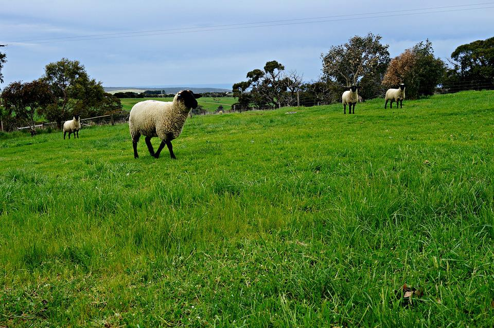 Sheep, Pasture, Rolling Meadows, Green Fields