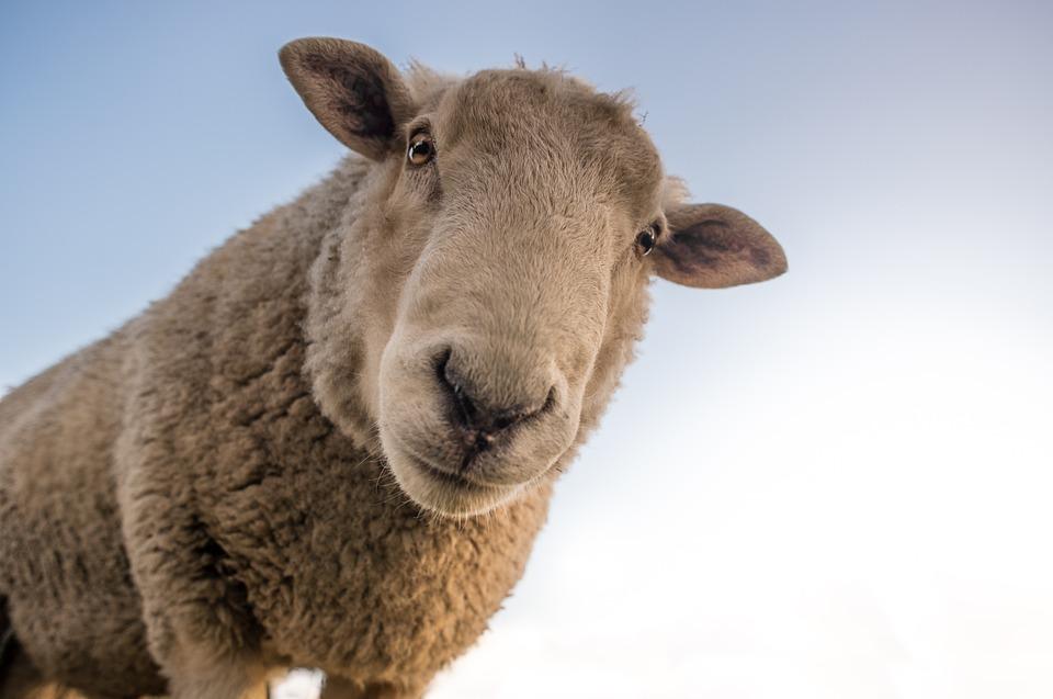Sheep, Curious, Look, Farm, Animal, Rural, Mammal