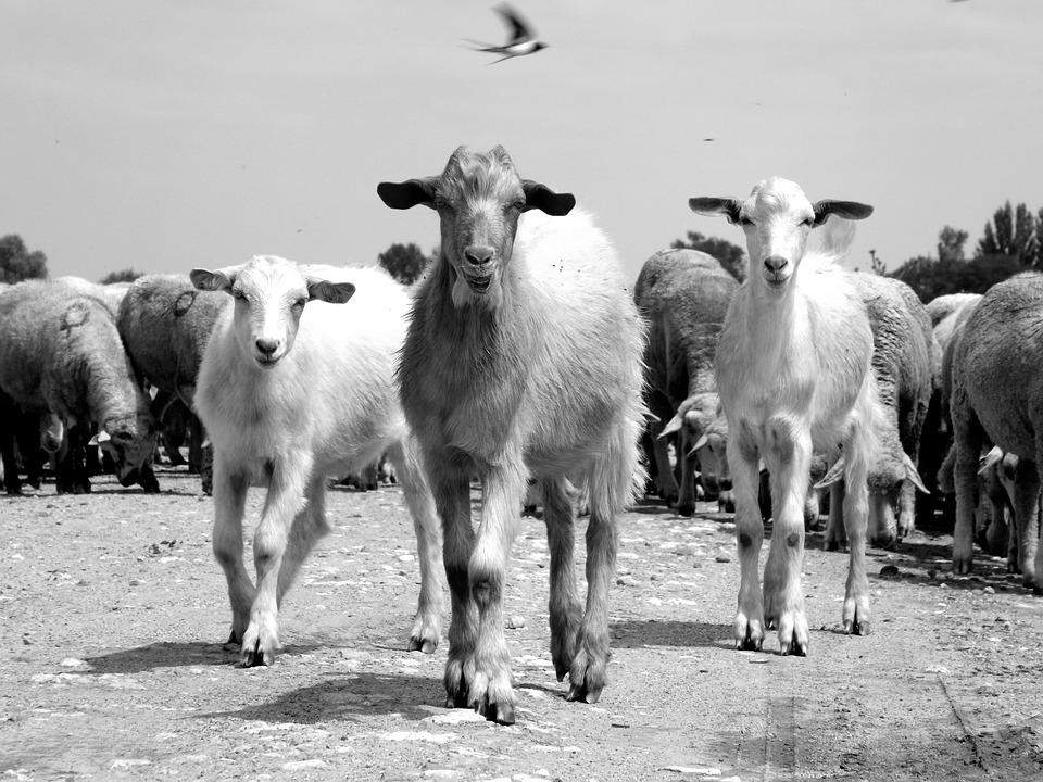 Capra, Sheep, The Flock