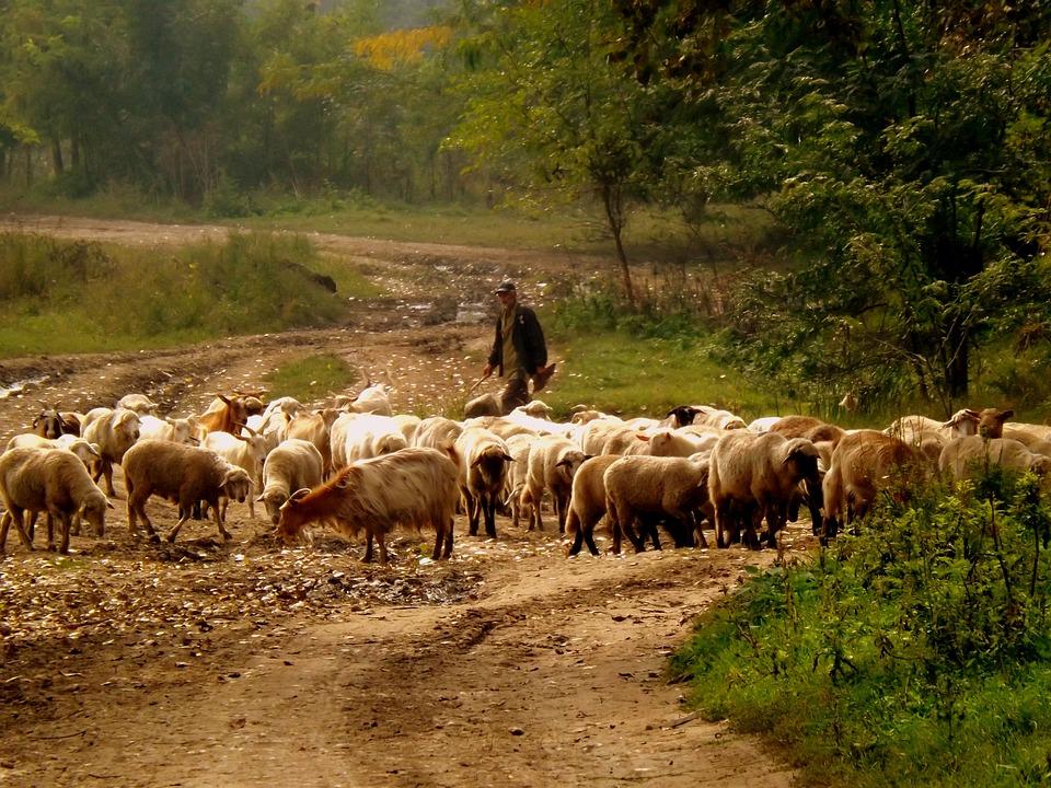 Sheep, The Flock, Camacho, Pet, Nature, Capra, Farmer