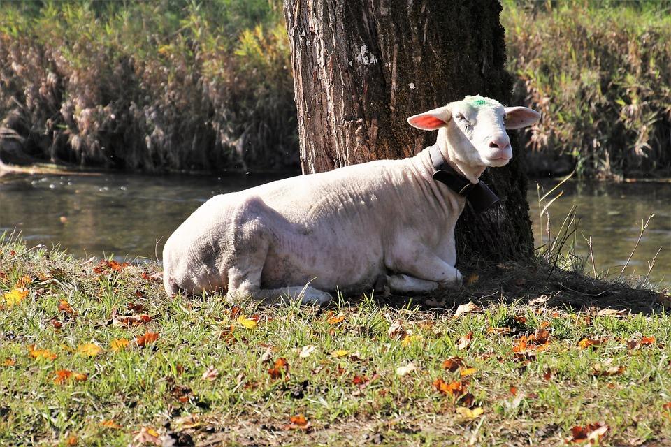 Sheep, Grazing, Alpine, Holding, Village, Field