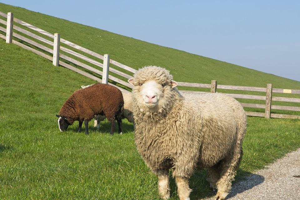 Sheep, White, Black, Lamb, Wool, Cattle, Animals