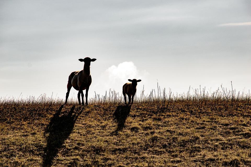 Sheep, Animals, Wool, Dike, Flock