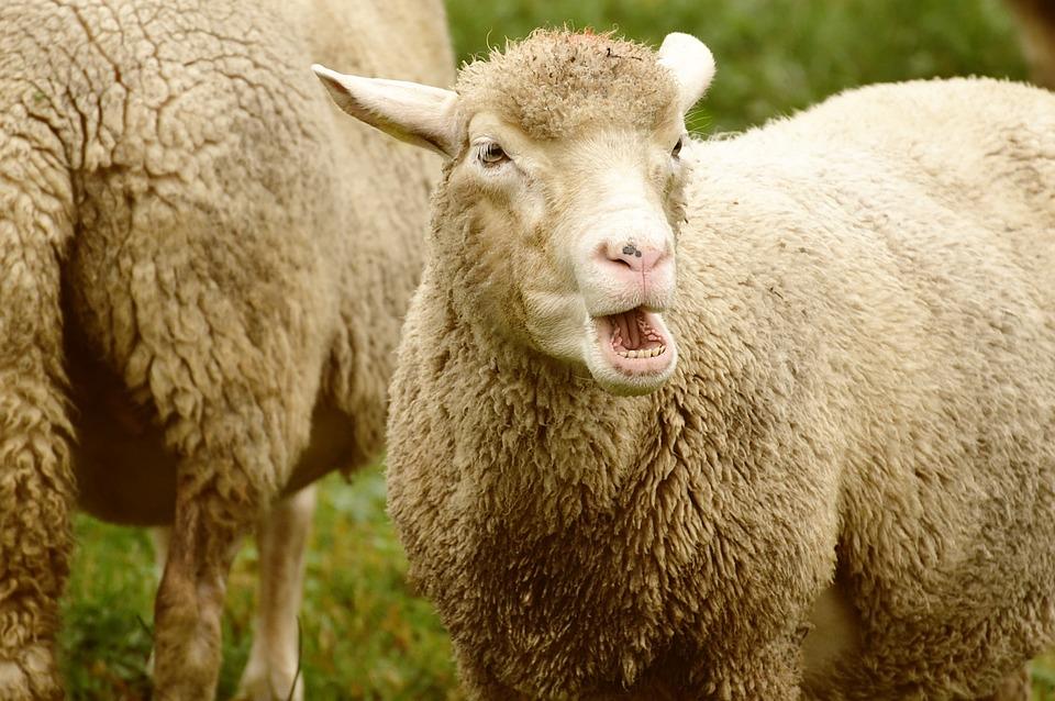 Sheep, Wool, Animal, Meadow, Graze, Nature