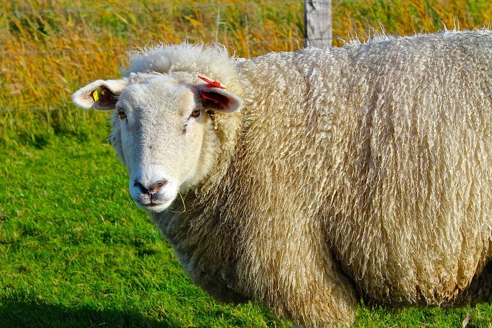 Sheep, Winter Coat, Wool