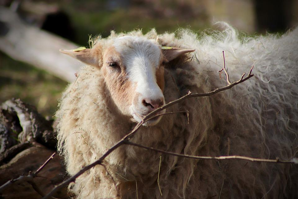 Sheep, Livestock, Pet, Wool, Sheep's Wool, Mammal