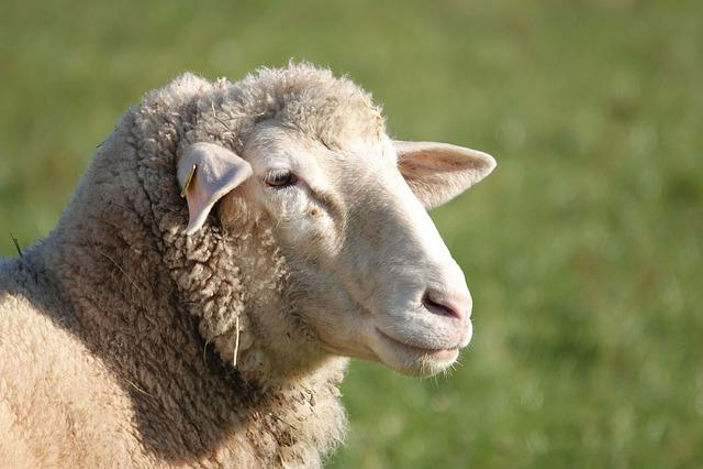 Sheep, Sheepshead, Sheep Portrait, Sheep Face