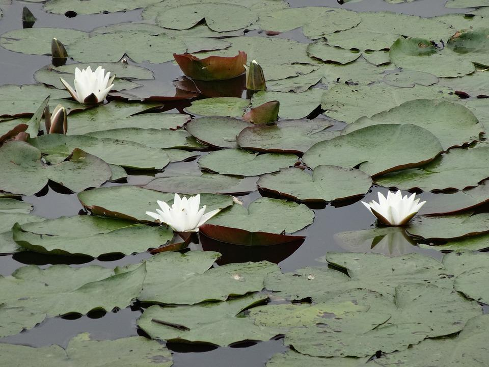 Water Lily, Lily, Water Plant, Sheet, Water, Green