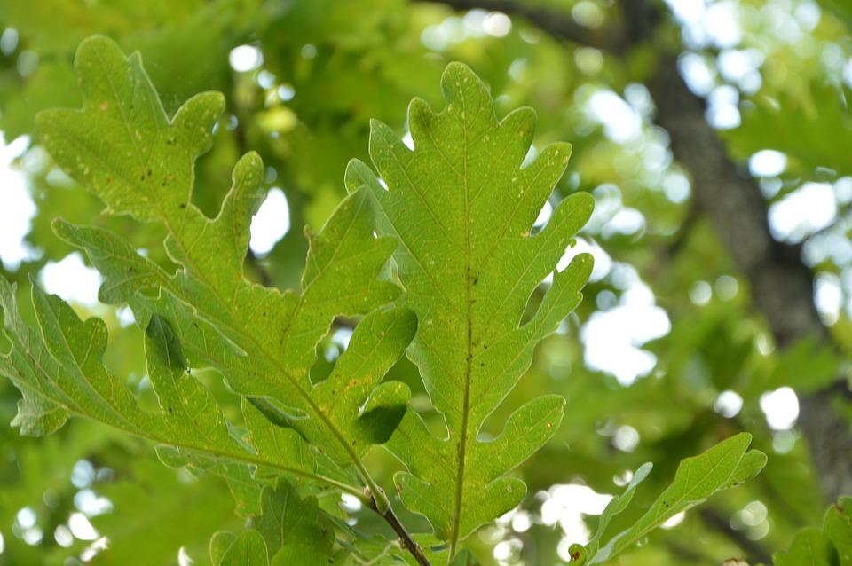 Krasnodarskiy Kray, Nature, Oak, Tree, Sheet