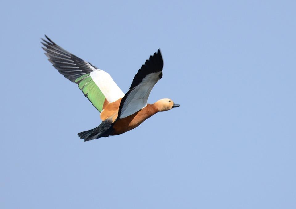 Bif, Bird, Flight, Ruddy, Shelduck, Brahminy, Fly