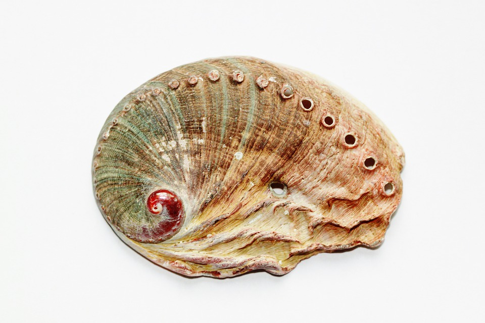 Shell, Snail, Close, Abalone, Abaloneschnecke