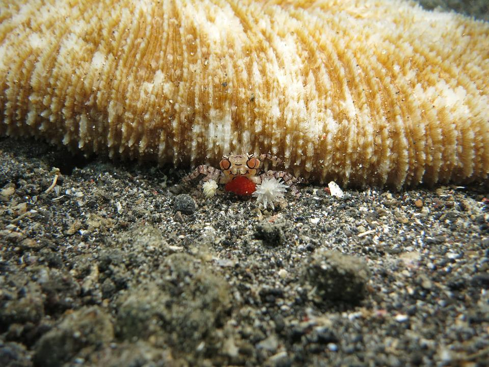 Crab, Crustacean, Boxer Crab, Shell, Animal, Sea, Ocean