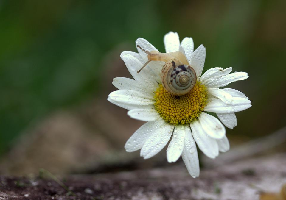 Snail, Daisy, Petals, Shell, Flower, Dew