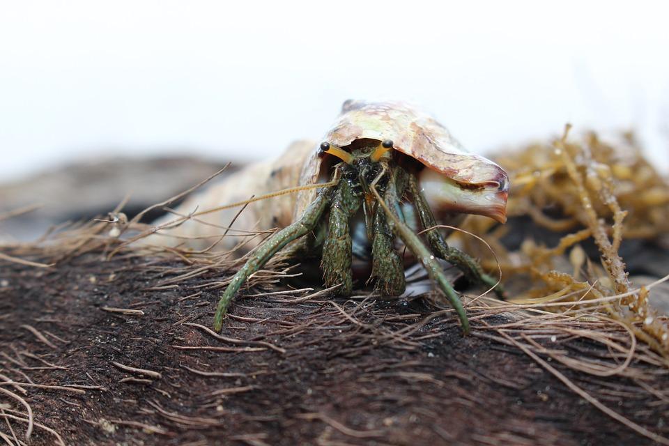 Crab, Hermit, Shell, Crustacean, Nature, Animal, Eyes