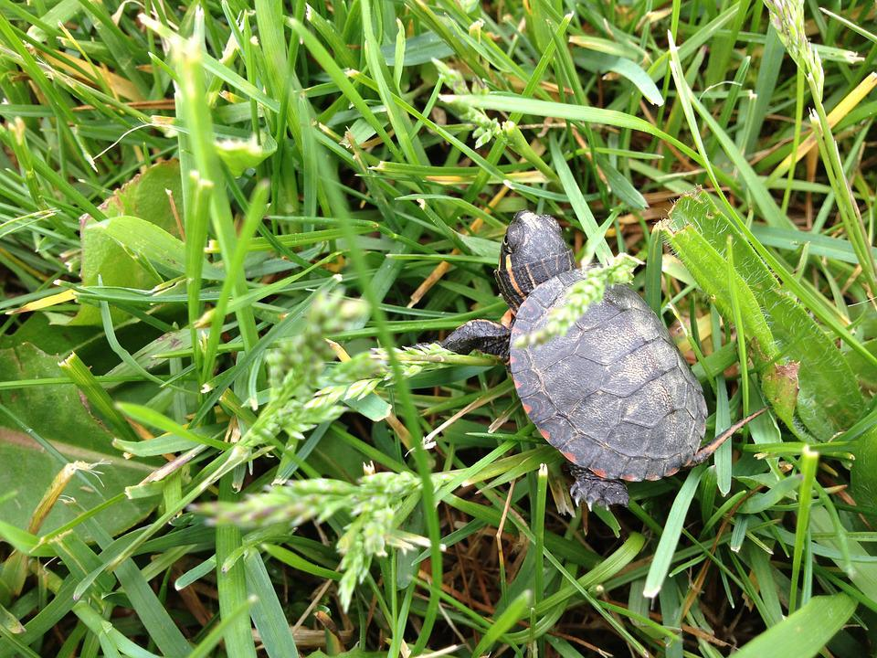 Turtle, Grass, Baby, Nature, Wildlife, Shell, Green