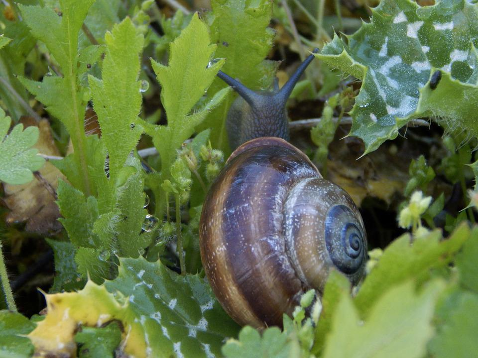 Snail, Nature, Animal, Shell, Hermaphrodite, Plants