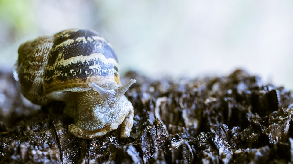 Snail, Mollusc, Shell, Small, Lilliputian, Gastropod