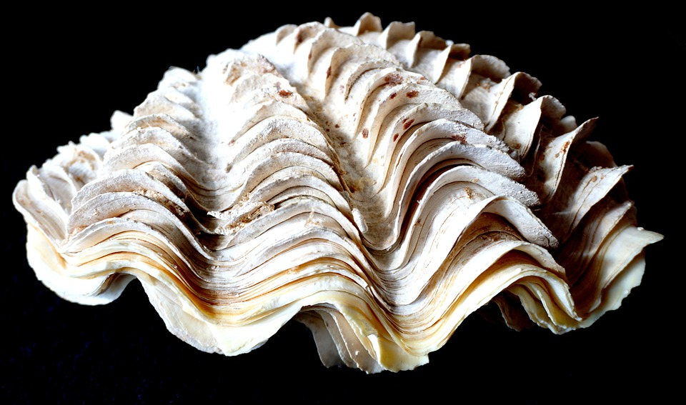 Shell, Close Up, Killer Clam, Lime, Vacations, Thailand