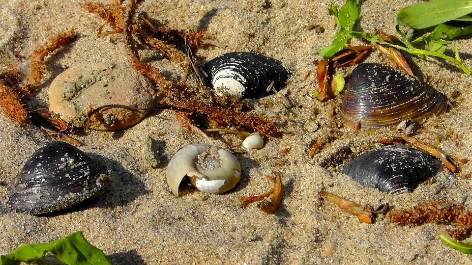 Mussels, Flotsam, Beach, Sand, Snail, Shell