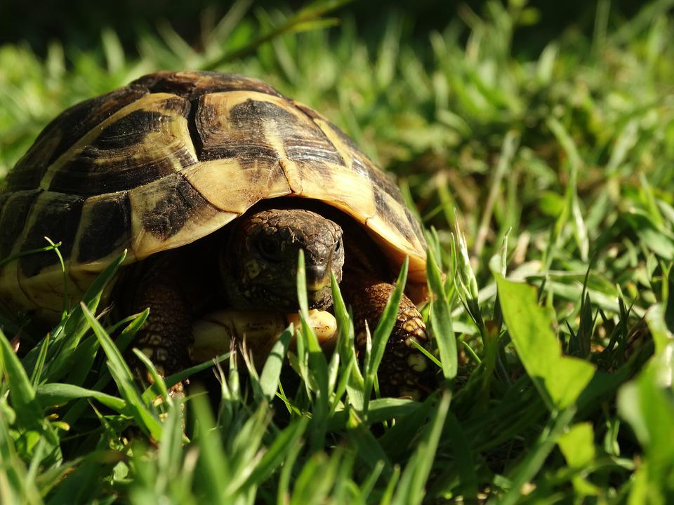 Tortoise, Reptile, Animal, Armored, Shell, Slowly