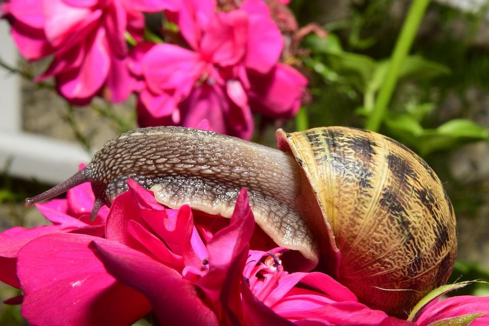Snail, Clam, Shell, Garden, Invertebrate