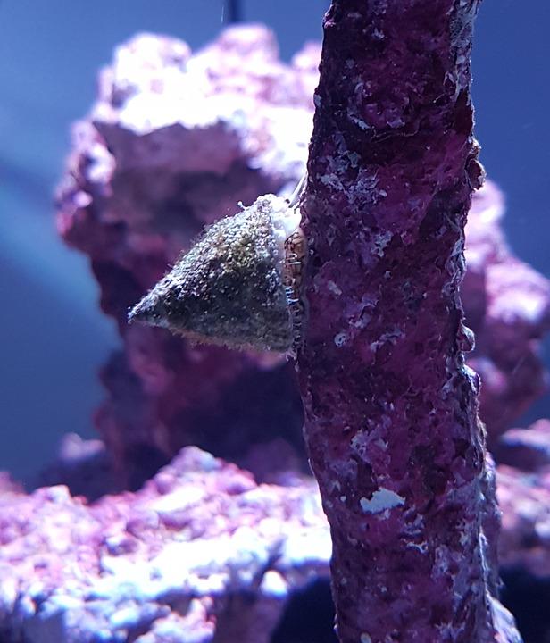Turbo Snail, Snail, Mollusk, Shell, Saltwater Aquarium