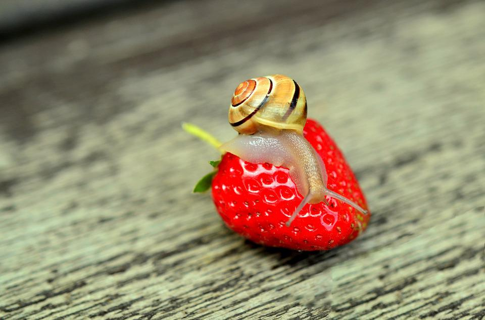 Strawberry, Snail, Tape Worm, Animal, Reptile, Shell