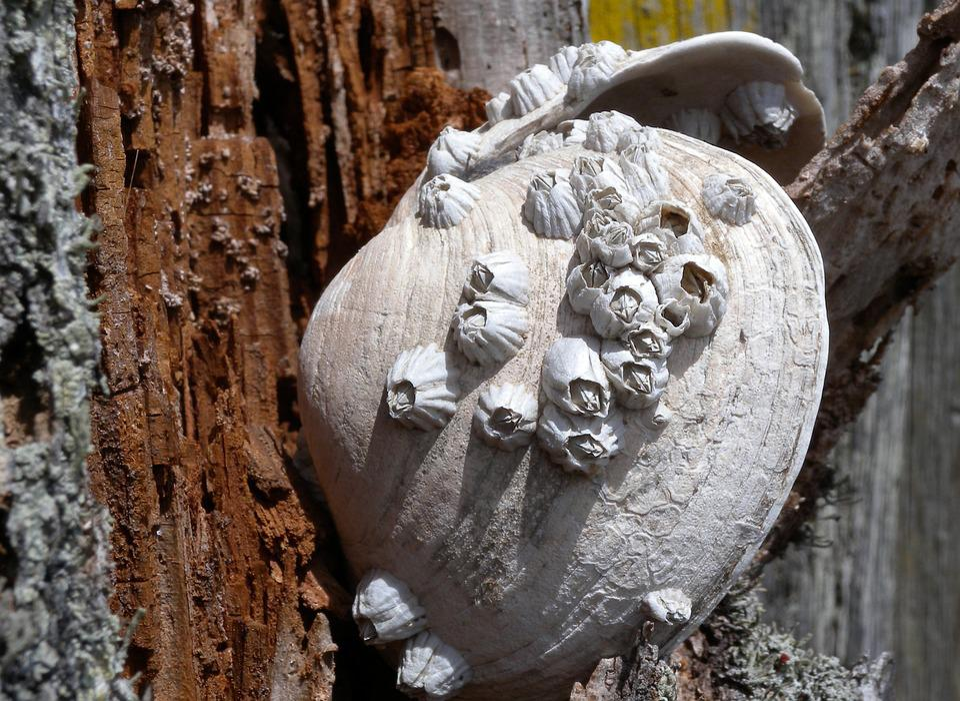 Barnacles, Shell, Marine, Crustacean, Shellfish