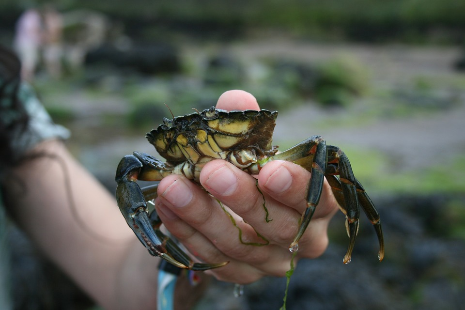Crab, Claw, Food, Sea, Shell, Shellfish, Fresh, Marine