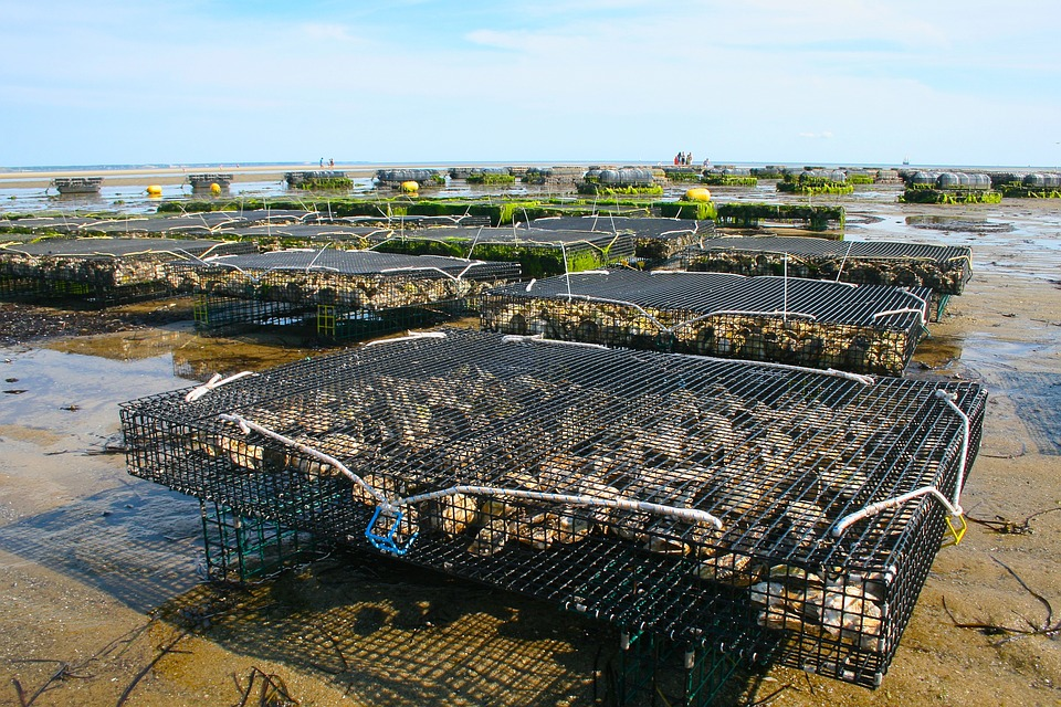 Oyster Farm, Shellfish, Fis, Oyster, Sea, Shell