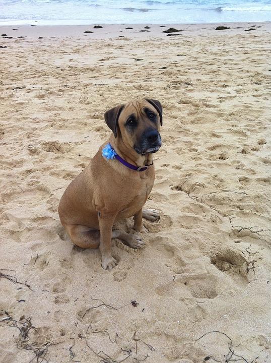 Dog, Sad, Sitting, Shelly Beach, Pet, Canine