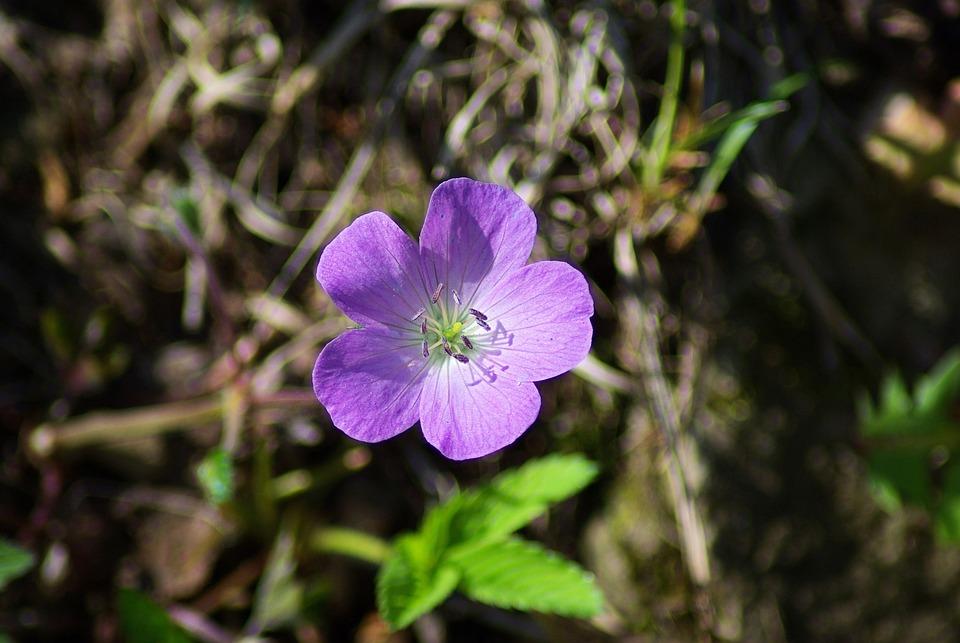 Shenandoah Wild Geranium, Shenandoah, National, Park