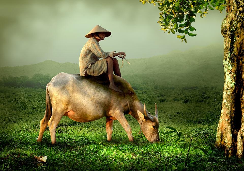 Man, Cow, Riding, Farmer, Shepherd, Buffalo, Asia
