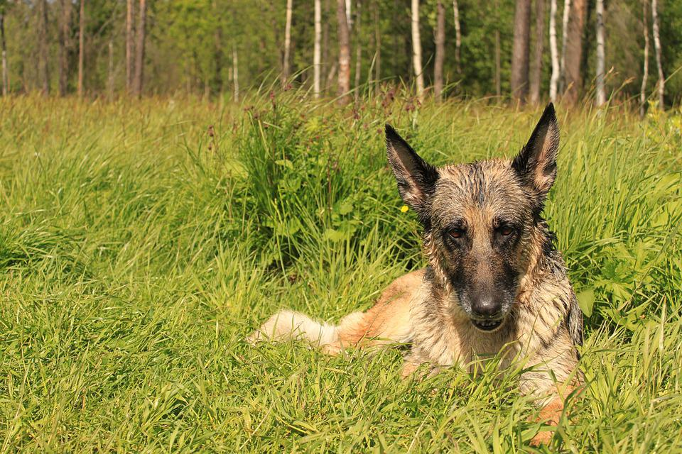 German Shepherd, Shepherd, Dog, Mind, Intelligence