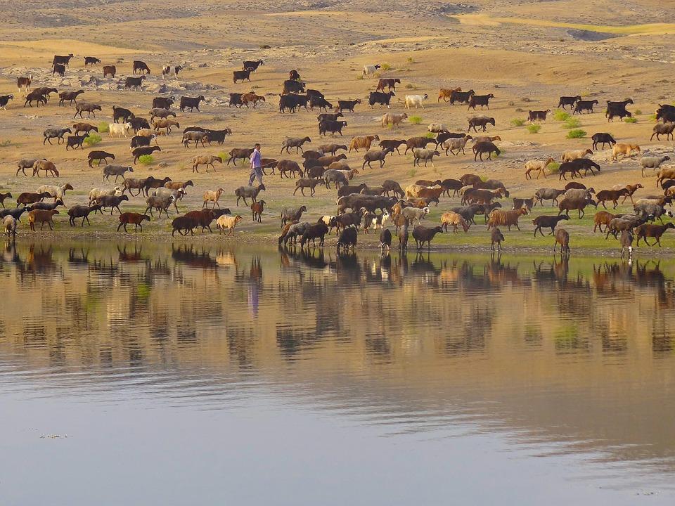 Shepherd, Livestock, Countryside, Summer, Lake, Herd