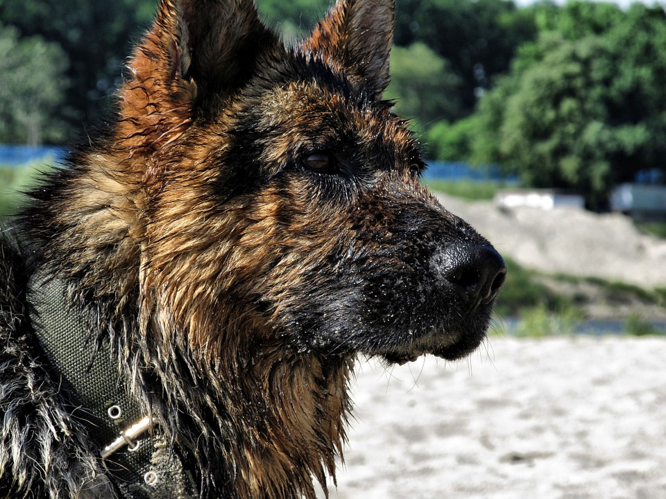 German Shepherd, Wet Dog, Wet, German, Dog, Shepherd