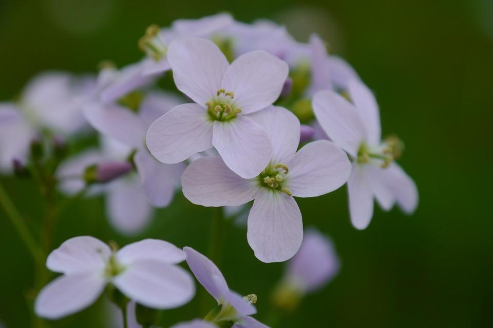 Shepherd's Purse, Flowers, Violet, Bloom, Nature, Plant