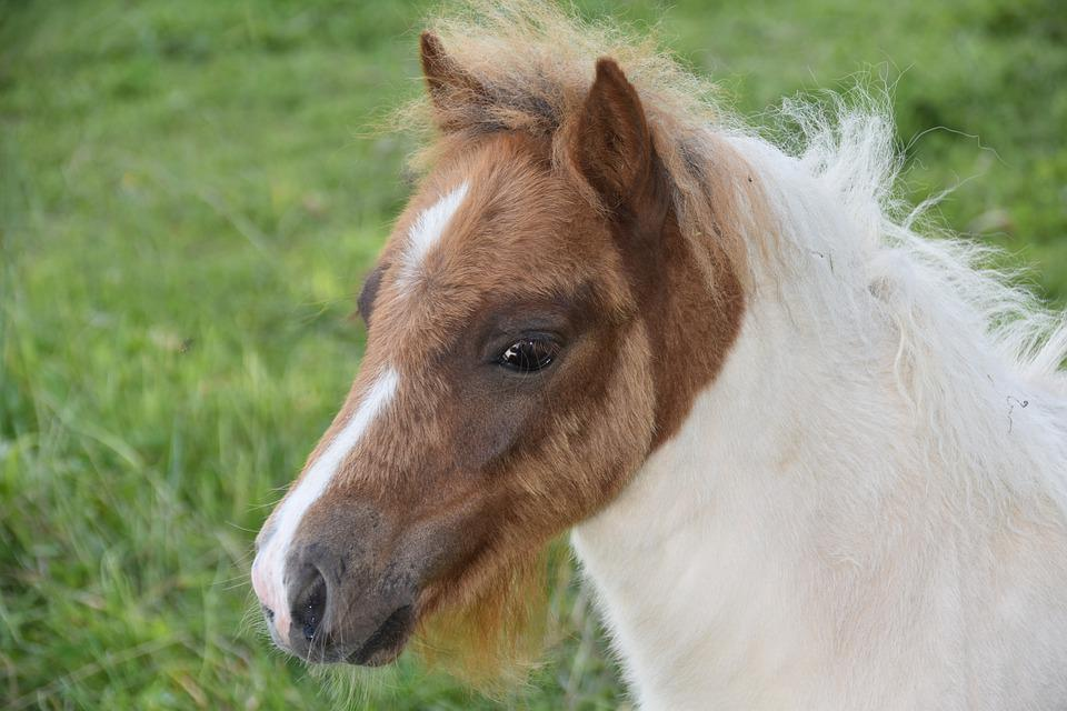 Foal, Shetland Pony, Small Horse, Pony Jarod, Equine