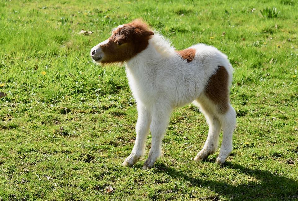 Shetland Pony, Small Horse, Equine, Foal, Prairie, Pre