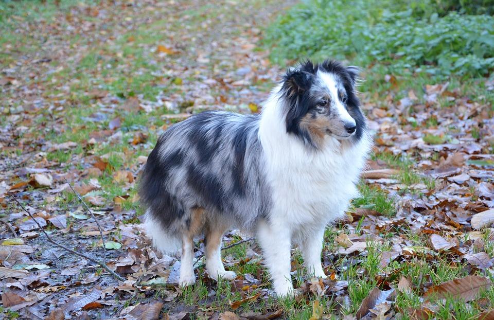 Shetland Sheepdog, Dog, Color, Blue Merle