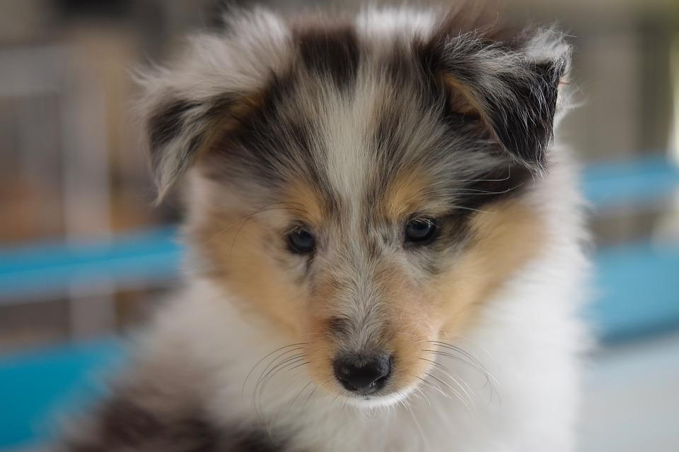 Dog, Shetland Sheepdog, Dog, Shetland Sheepdog Female
