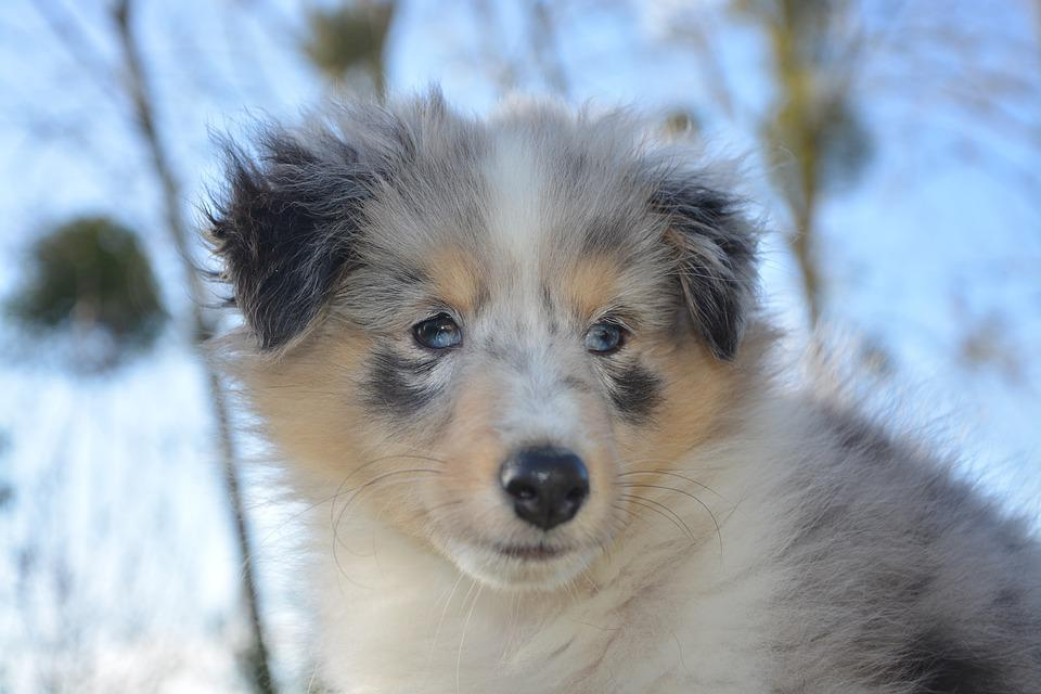Shetland Sheepdog, Puppy, Dog, Young, Blue-merle